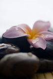 Frangipani and polished stone Royalty Free Stock Photo