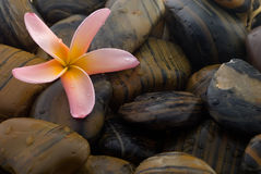 Frangipani and polished stone Stock Image