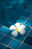 Frangipani in the pool Royalty Free Stock Photography