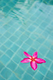Frangipani in pool Stock Photos