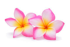 Frangipani, Pumeria, Frangipanni Royalty Free Stock Photography