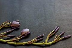 Frangipani purple flower buds border on dark gray Stock Images