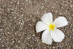 Frangipani on rock surface Stock Photos