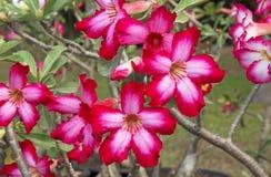 Frangipani rojo Foto de archivo