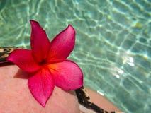 Frangipani rojo en un top bikini Imagenes de archivo