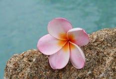 Frangipani rosado Fotos de archivo libres de regalías