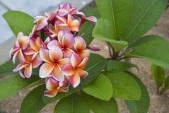 Frangipani rosado, anaranjado (plumeria) Imagen de archivo