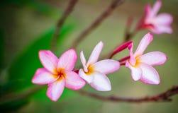 Frangipani rosado, plumeria Fotos de archivo libres de regalías