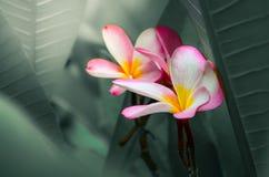 Frangipani rose Images libres de droits