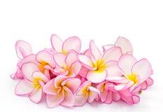 Frangipani rose d'isolement sur le fond blanc, l'espace de copie photographie stock libre de droits