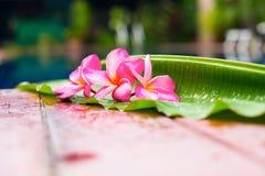 Frangipani rose près de l'espace de copie de piscine Images stock