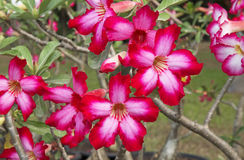 Frangipani rouge Photo stock