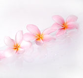 Frangipani in a row Royalty Free Stock Photo