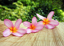 Frangipani in a row. Three beautiful frangipani (plumeria) flowers in a row Stock Photo