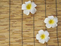 Frangipani set on bamboo table. White frangipani flowers placed on bamboo background, top view, space for text royalty free stock photo