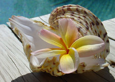 Frangipani & Shell. A tropical frangipani flower in a shell next to a swimming pool Stock Photography