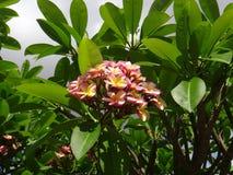Frangipani on sky background - Plumeria rubra Tricolour stock photos