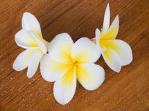 Frangipani Spa λουλούδι Στοκ Εικόνες