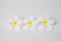 Frangipani spa λουλούδια, λουλούδι plumaria στο άσπρο υπόβαθρο, plu Στοκ Εικόνα