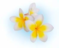 Frangipani Spa Flower Stock Photography