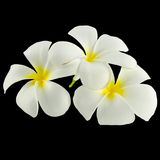 Frangipani Spa Flowers. On a black background Royalty Free Stock Photography