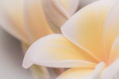 Frangipani Spa Flowers border vintage style. Stock Images