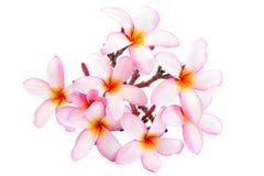 Frangipani Spa Flowers Royalty Free Stock Image