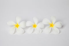 Frangipani spa flowers, plumaria flower on white background, plu Stock Image