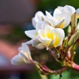 Frangipani Spa Plumeria λουλούδια Στοκ Φωτογραφίες