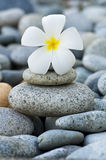 Frangipani with with stack of rocks Royalty Free Stock Image