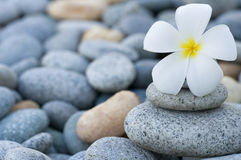 Frangipani with with stack of rocks Stock Images