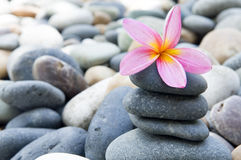 Frangipani with stack of rocks Royalty Free Stock Photo