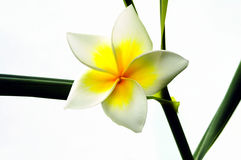 Frangipani Still Life Royalty Free Stock Images
