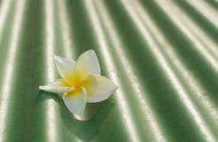 Frangipani sur la tuile de toit image libre de droits
