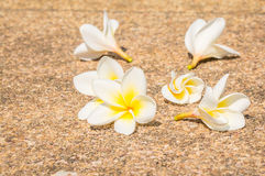 Frangipani sur le plancher Photo stock