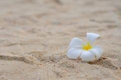 Frangipani sur le sable Photographie stock libre de droits