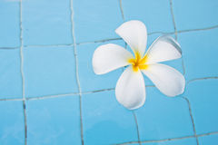 Frangipani in swimming pool Stock Photos