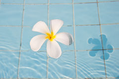 Frangipani in a swimming pool Royalty Free Stock Image