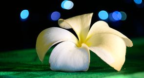 Frangipani on a table in the night Royalty Free Stock Photos