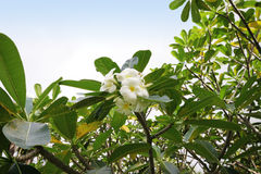 Frangipani tree Royalty Free Stock Images