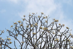 Frangipani tree against a blue sky in Thailand. Frangipani tree (Plumeria) against a blue sky in Thailand Stock Image