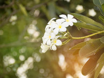 Frangipani tree. On a beautiful aroma Stock Photos