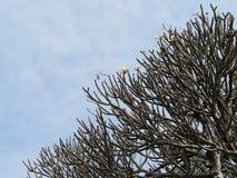 Frangipani tree. With beautiful flowers Royalty Free Stock Photo