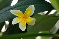 Frangipani tree flower during our vacation in Florida, USA. Royalty Free Stock Images