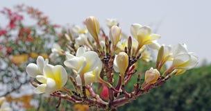 Frangipani tree flowers Royalty Free Stock Photography