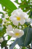 Frangipani. Tree of Frangipani and leaf Royalty Free Stock Photography