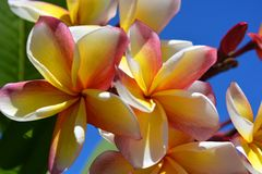 Frangipani in flower, also known as Plumeria royalty free stock images