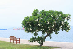 Frangipani tree by the sea and the bench. Royalty Free Stock Photography