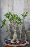 Frangipani tree. Frangipani on temple-tree in flowerpot Royalty Free Stock Photos