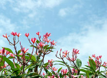 Frangipani tree tropical flowers Royalty Free Stock Photos
